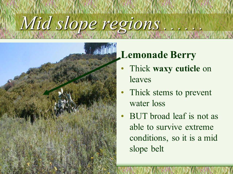 Mid slope regions . . . . . . Lemonade Berry