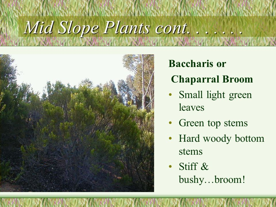 Mid Slope Plants cont. . . . . . . Baccharis or Chaparral Broom