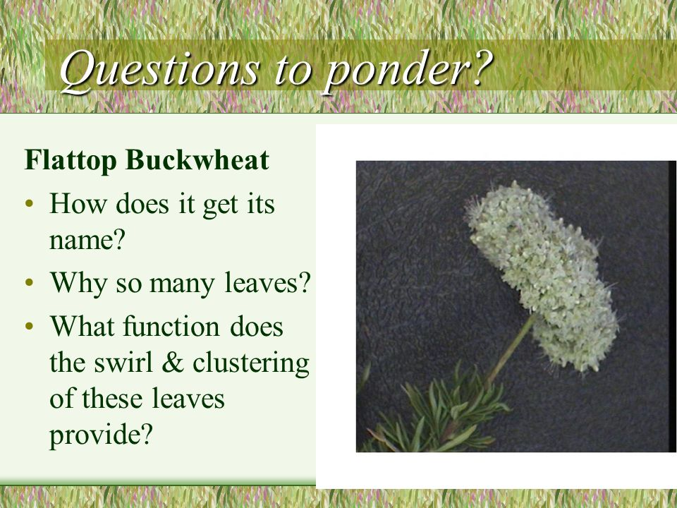 Questions to ponder Flattop Buckwheat How does it get its name