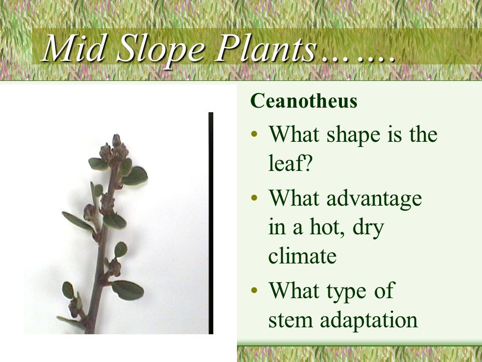 Mid Slope Plants……. What shape is the leaf