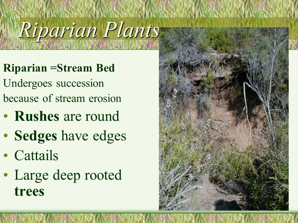 Riparian Plants Rushes are round Sedges have edges