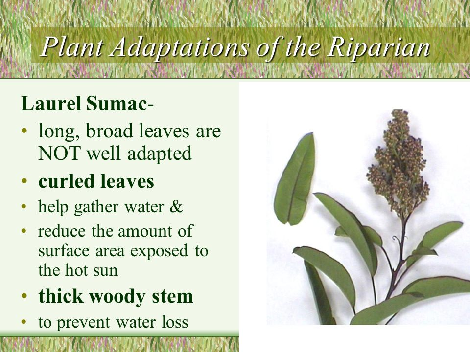 Plant Adaptations of the Riparian