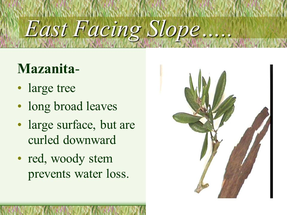 East Facing Slope….. Mazanita- large tree long broad leaves