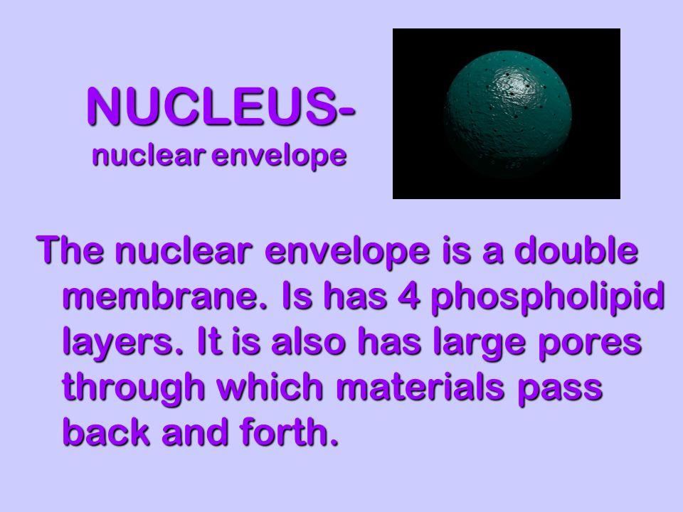 NUCLEUS- nuclear envelope