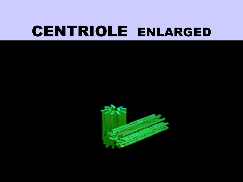 CENTRIOLE ENLARGED