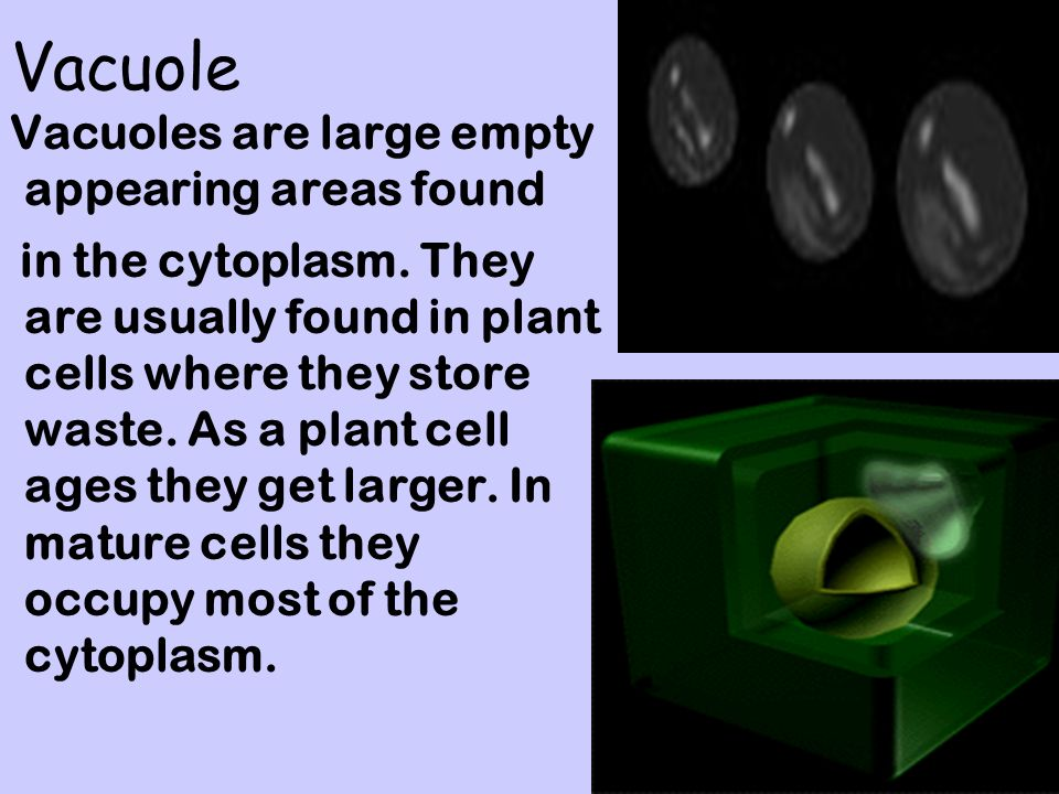 Vacuole Vacuoles are large empty appearing areas found