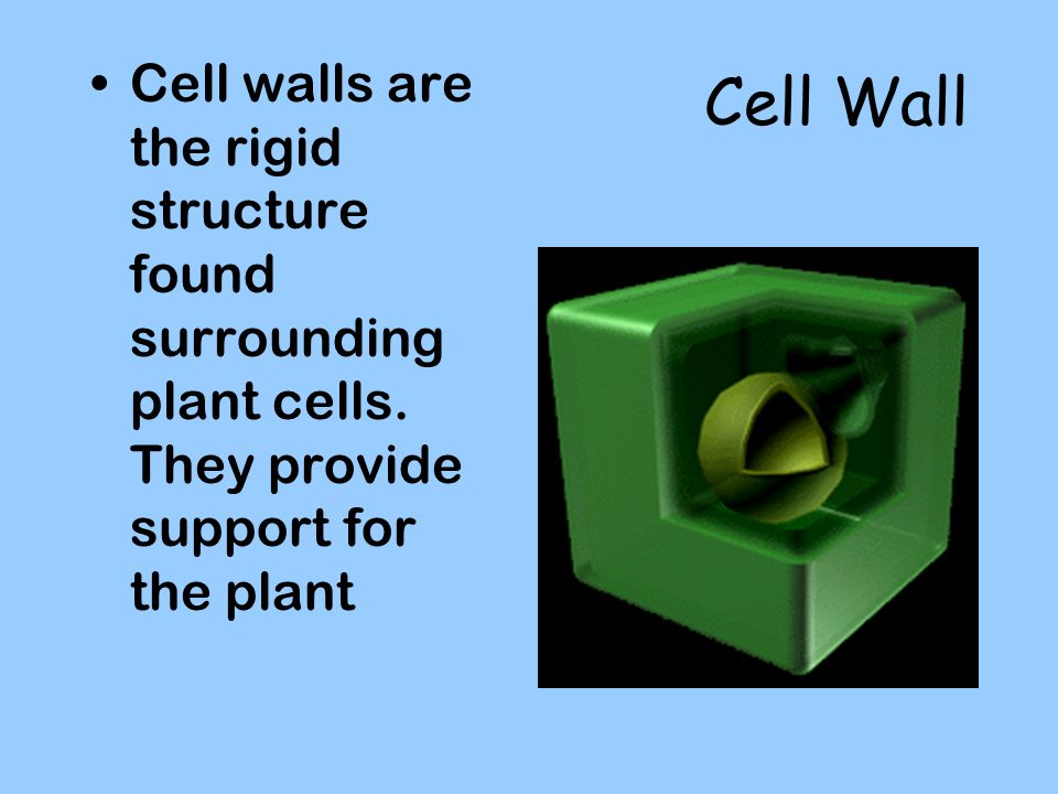 Cell Wall Cell walls are the rigid structure found surrounding plant cells.