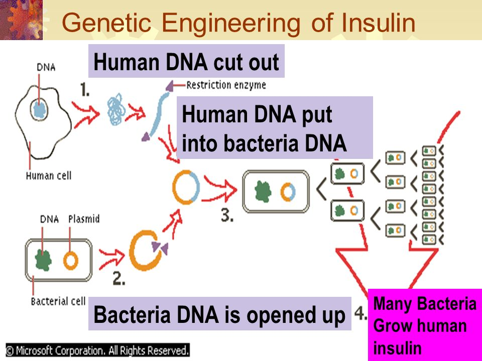 Genetic Engineering of Insulin