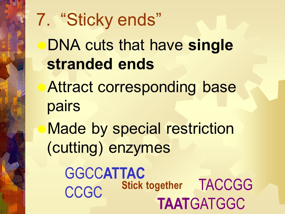 7. Sticky ends DNA cuts that have single stranded ends