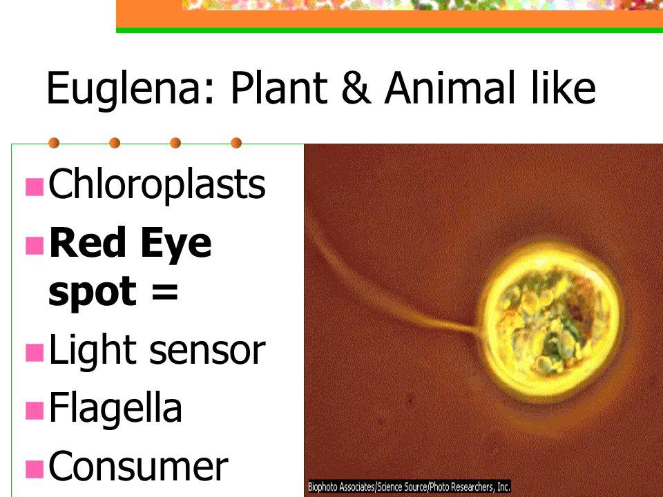 Euglena: Plant & Animal like