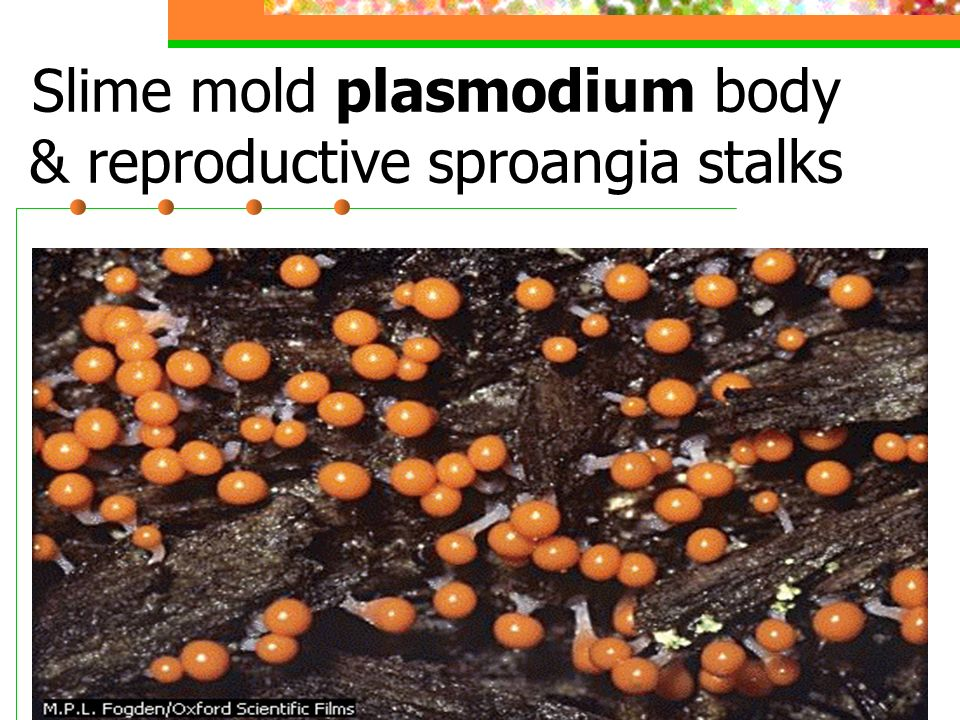 Slime mold plasmodium body & reproductive sproangia stalks