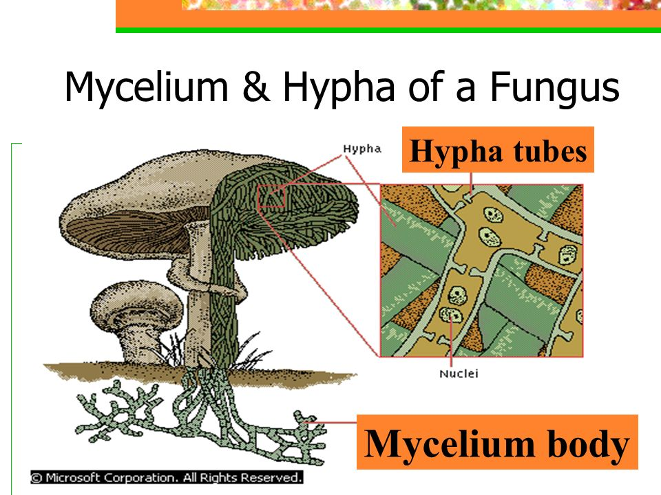 Mycelium & Hypha of a Fungus