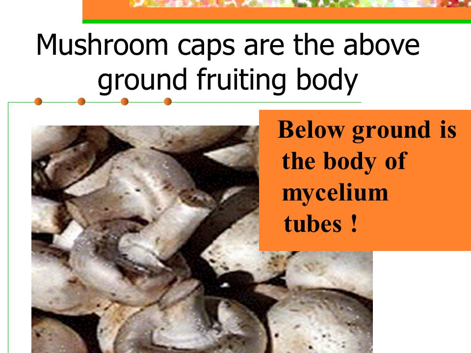 Mushroom caps are the above ground fruiting body