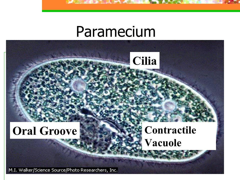 Paramecium Cilia Oral Groove Contractile Vacuole