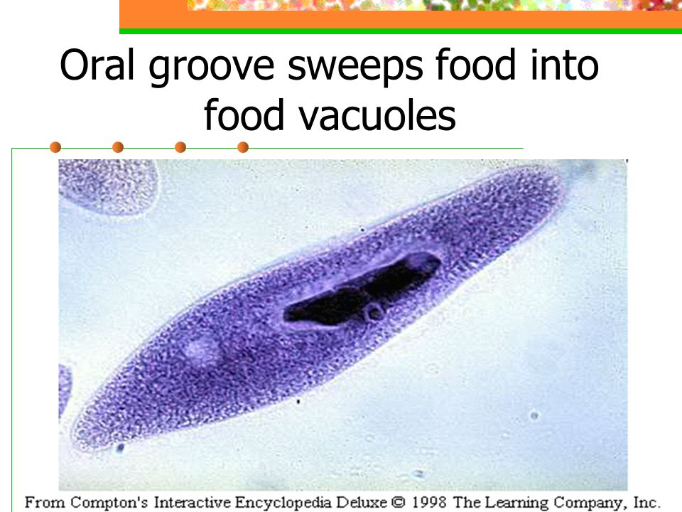 Oral groove sweeps food into food vacuoles