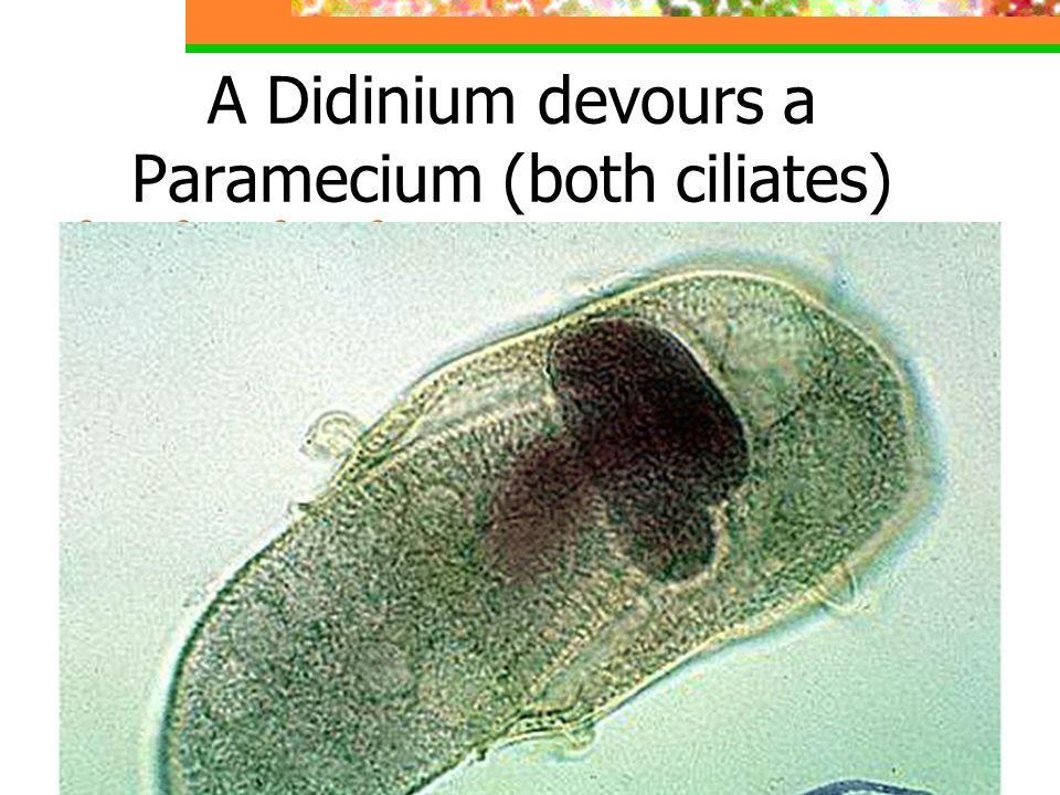 A Didinium devours a Paramecium (both ciliates)