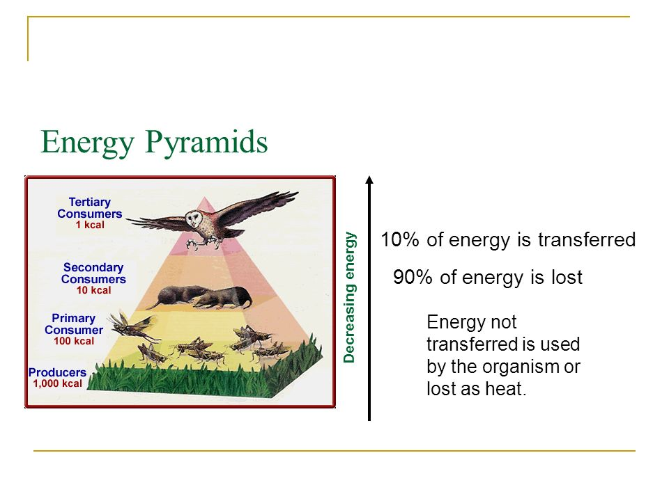 Energy Pyramids 10% of energy is transferred 90% of energy is lost
