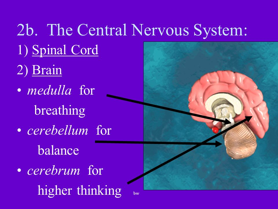 2b. The Central Nervous System: