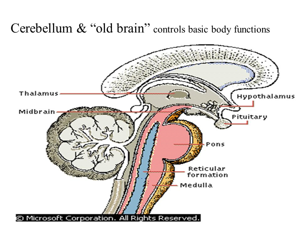 Cerebellum & old brain controls basic body functions