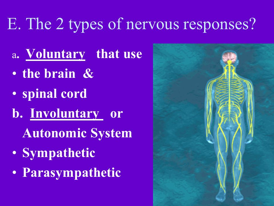 E. The 2 types of nervous responses