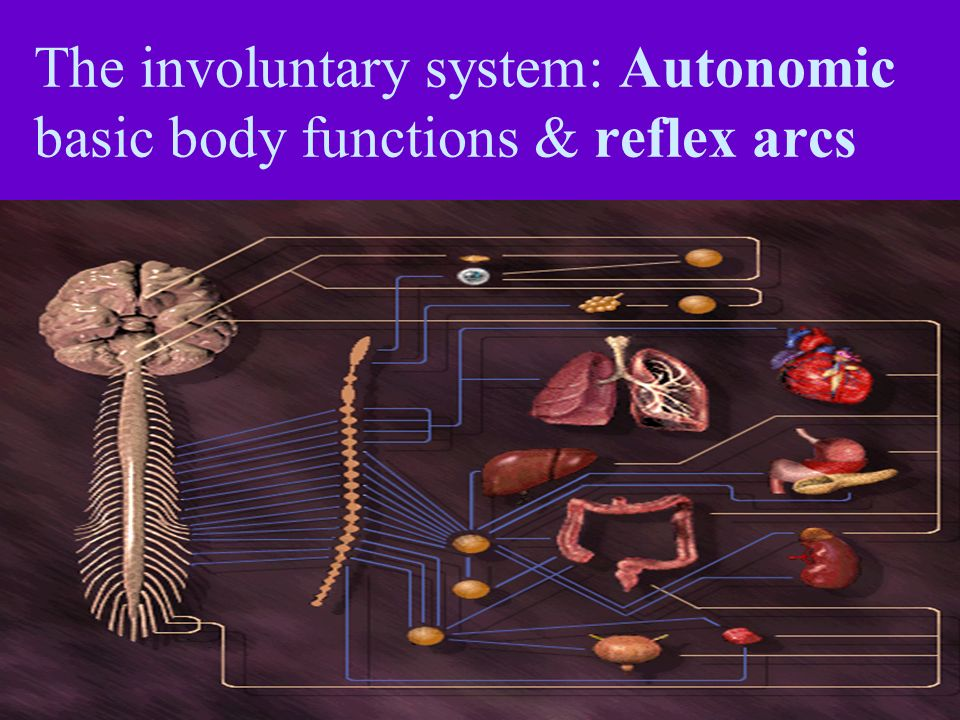 The involuntary system: Autonomic basic body functions & reflex arcs