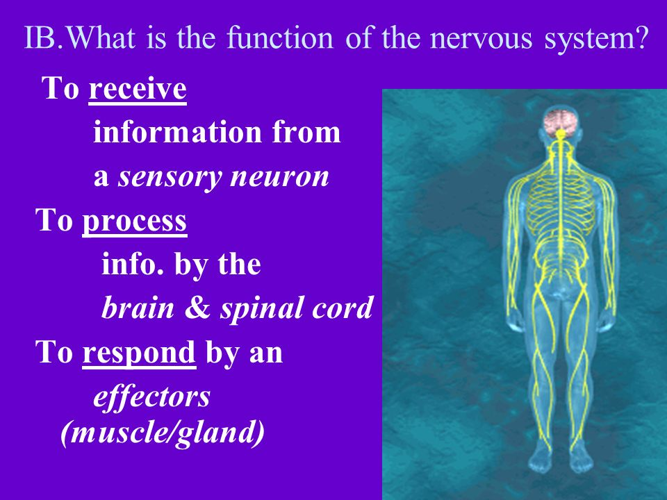 IB.What is the function of the nervous system