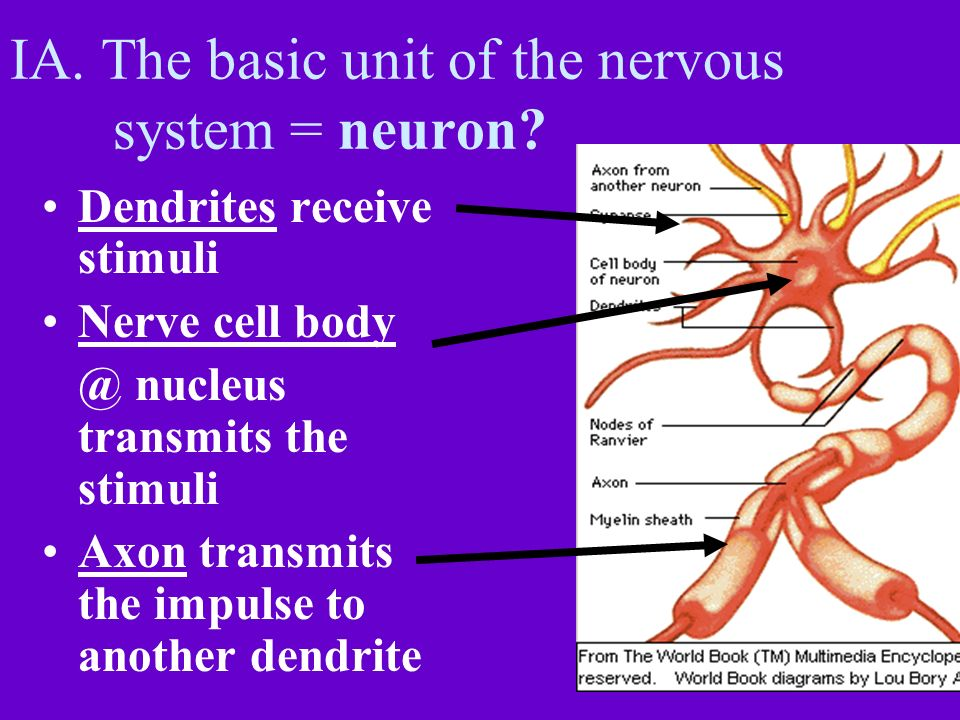 IA. The basic unit of the nervous system = neuron