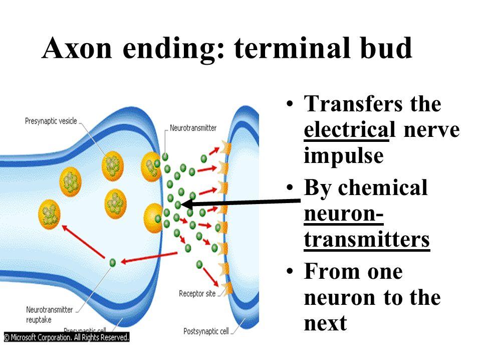 Axon ending: terminal bud