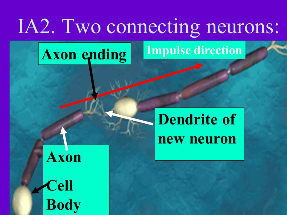 IA2. Two connecting neurons:
