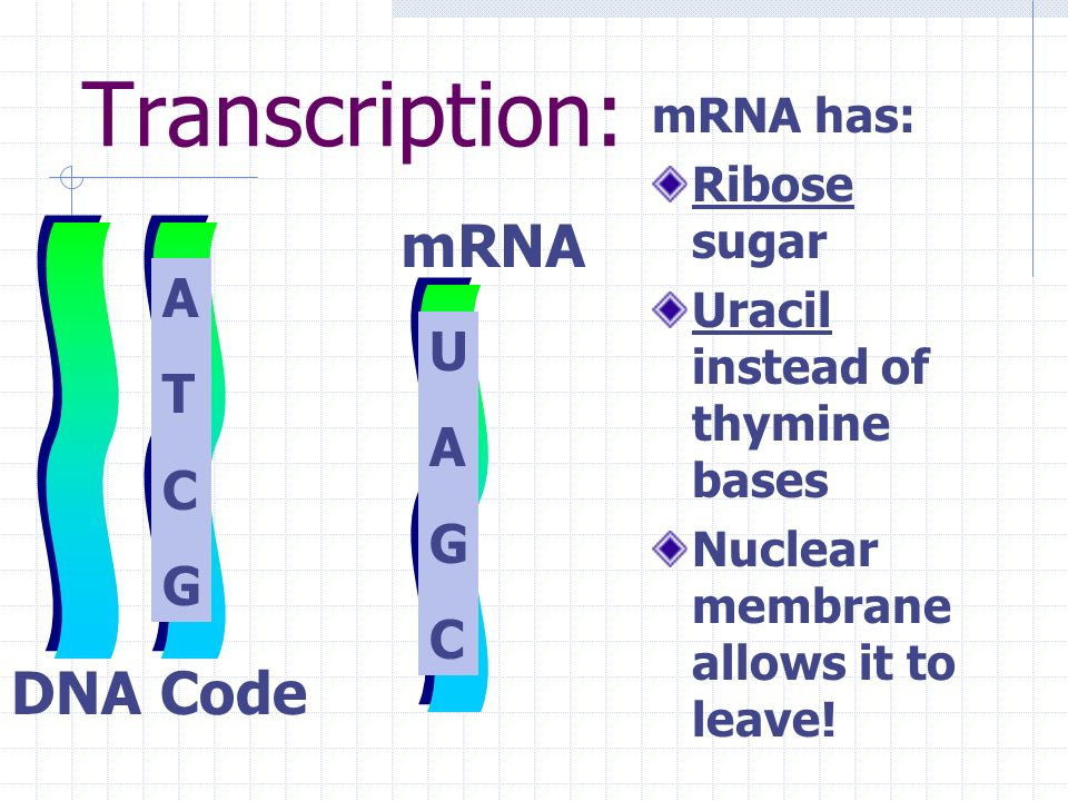 Transcription: mRNA DNA Code A T C G U A G C I I I mRNA has: