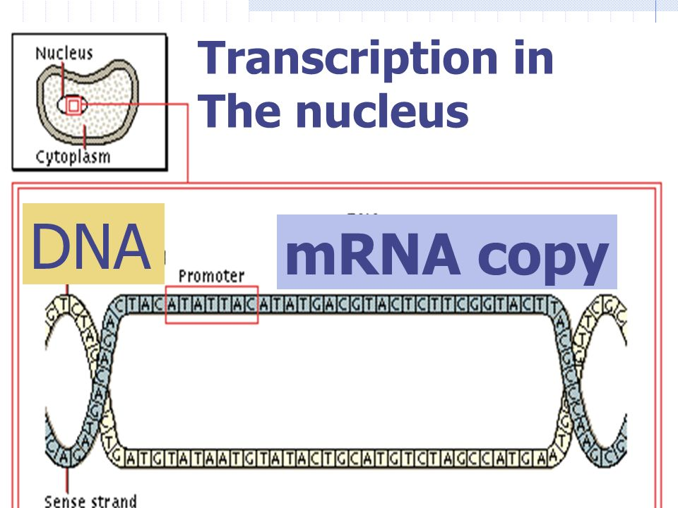 Transcription in The nucleus DNA mRNA copy
