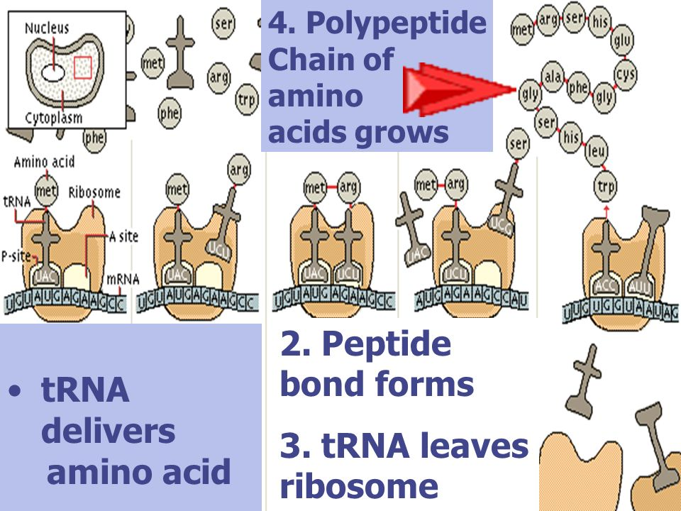 2. Peptide bond forms tRNA delivers 3. tRNA leaves ribosome amino acid
