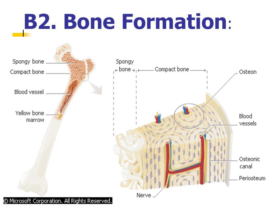 B2. Bone Formation: