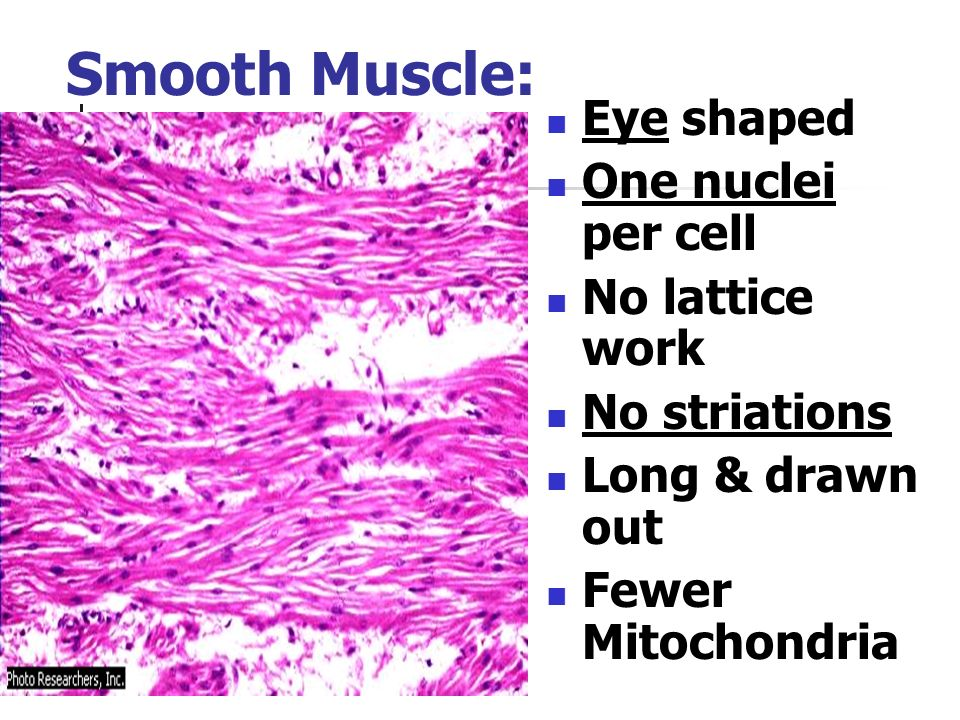 Smooth Muscle: Eye shaped One nuclei per cell No lattice work