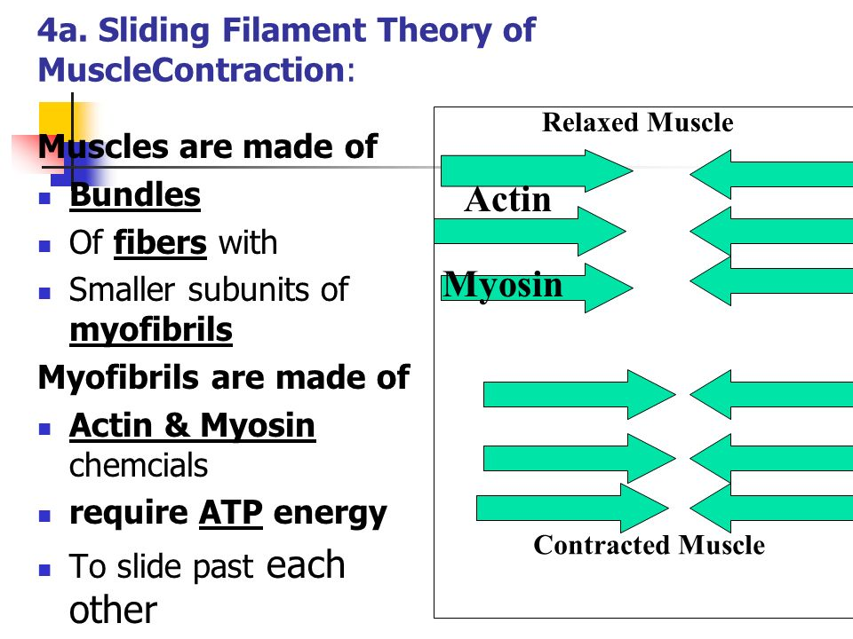 4a. Sliding Filament Theory of MuscleContraction: