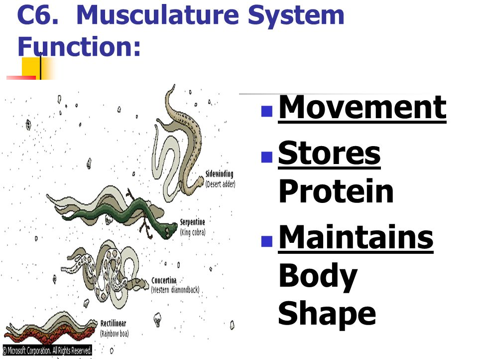 C6. Musculature System Function: