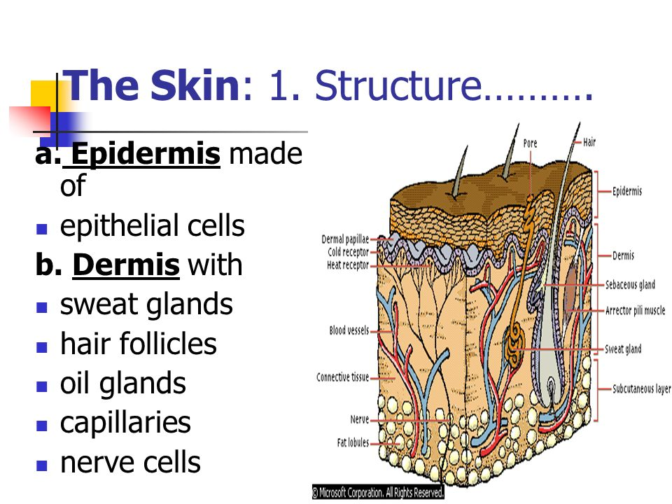 The Skin: 1. Structure……….