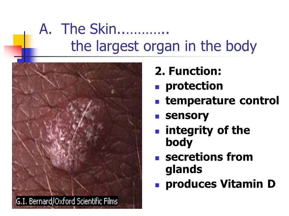 A. The Skin..……….. the largest organ in the body