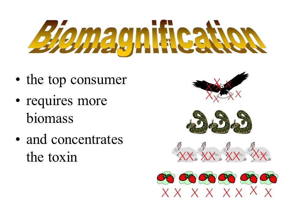 Biomagnification the top consumer requires more biomass