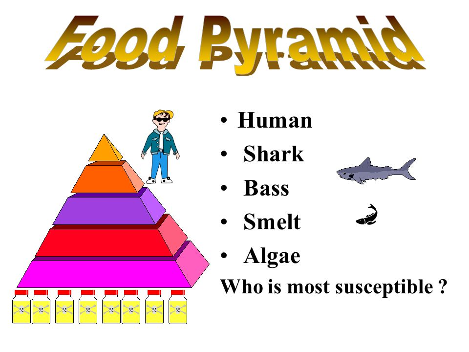 Food Pyramid Human Shark Bass Smelt Algae Who is most susceptible