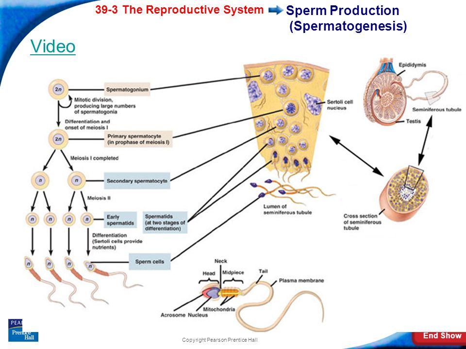 Sperm Production (Spermatogenesis)