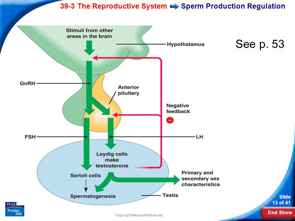 Sperm Production Regulation