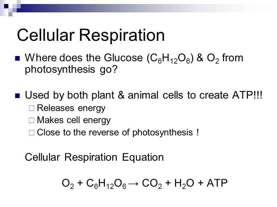 Cellular Respiration Where does the Glucose (C6H12O6) & O2 from photosynthesis go Used by both plant & animal cells to create ATP!!!