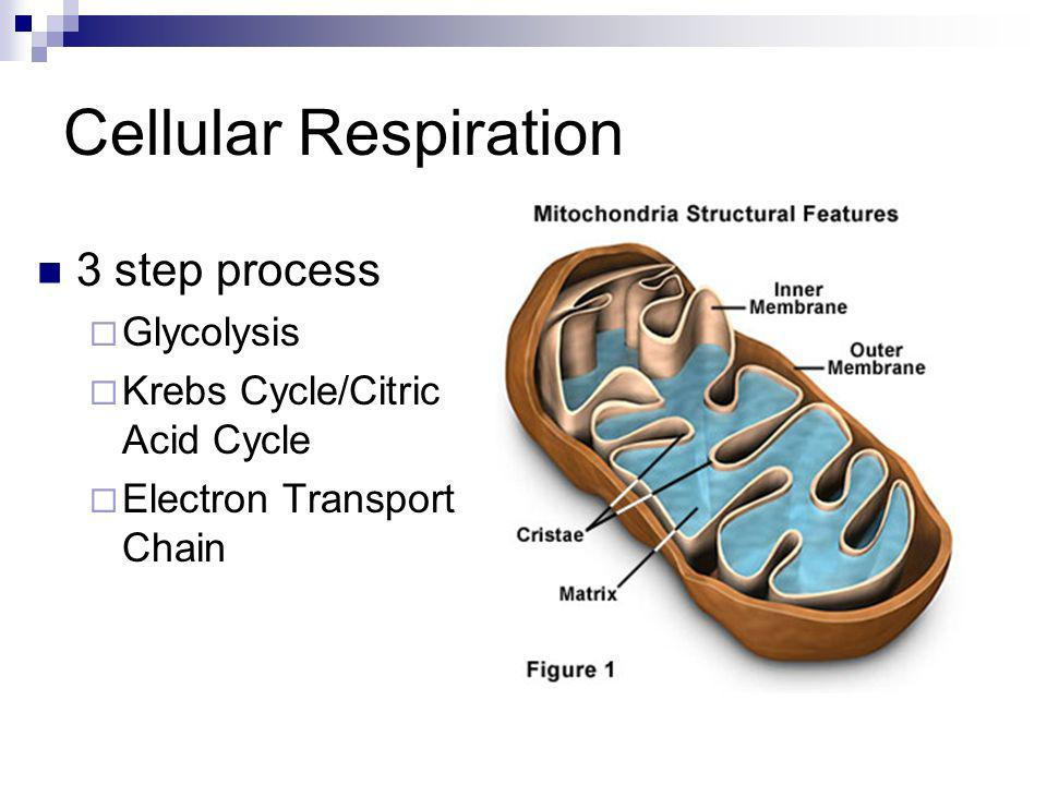 Cellular Respiration 3 step process Glycolysis