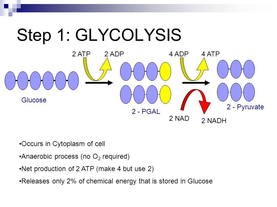 Step 1: GLYCOLYSIS 2 ATP 2 ADP 4 ADP 4 ATP Glucose 2 - Pyruvate