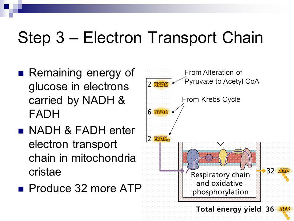 Step 3 – Electron Transport Chain