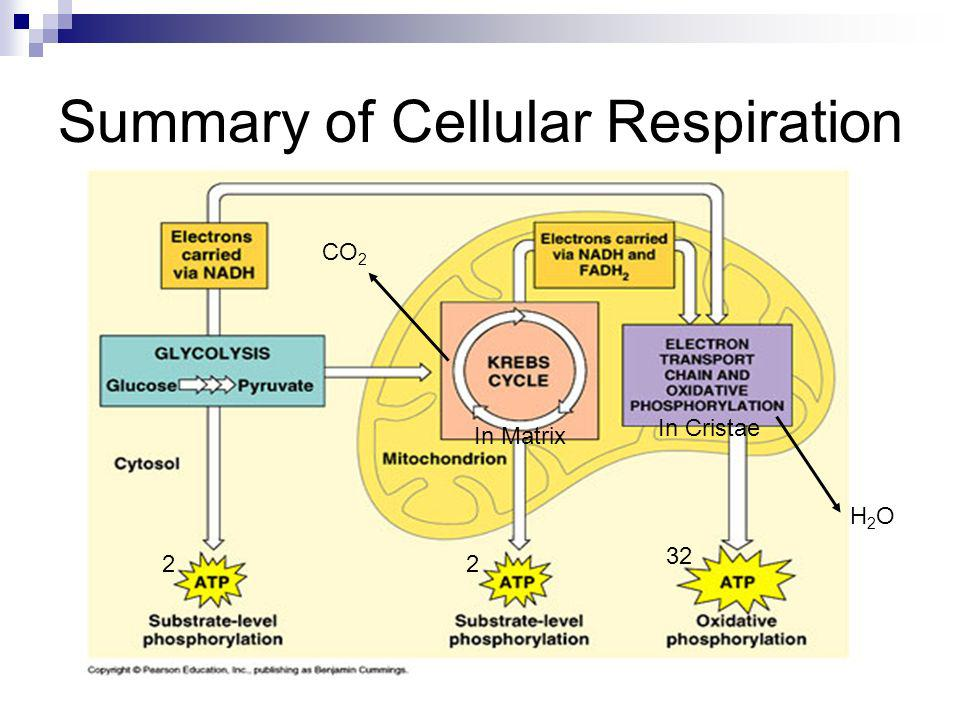 photosynthesis and cellular respiration matrix Mitochondria is the second largest organelle in a cell  cytoplasmic matrix:  cytoplasmic matrix contains the dna molecules (responsible for cellular  respiration), enzymes (responsible for citric acid cycle  one of the major  mitochondrial functions in a cell is cellular respiration  photosynthesis and  cellular respiration.