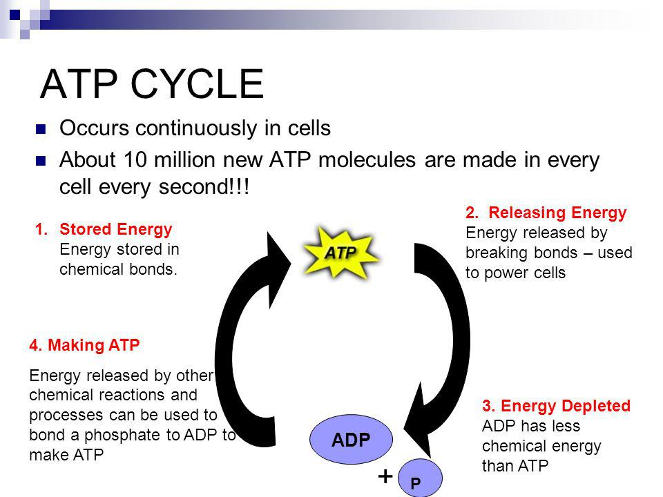 ATP CYCLE + Occurs continuously in cells