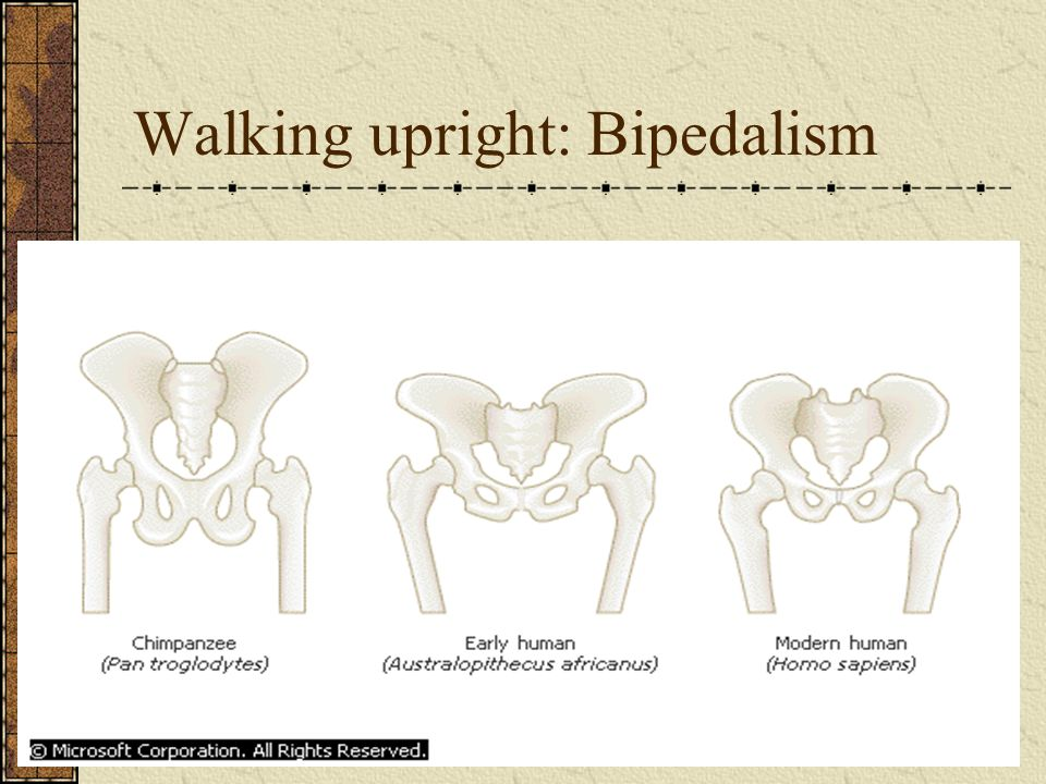 Walking upright: Bipedalism