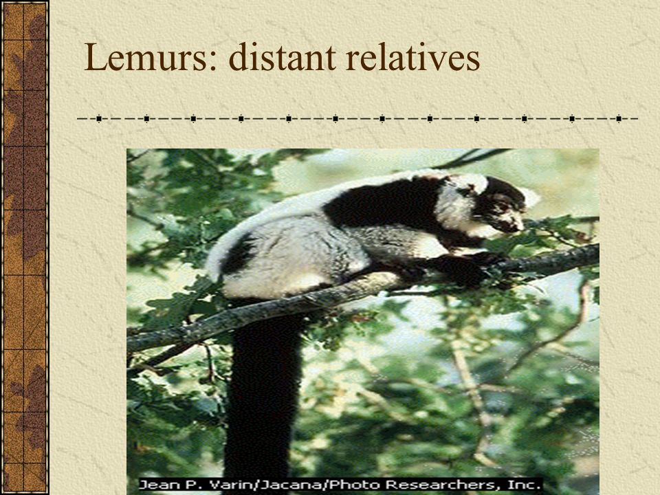 Lemurs: distant relatives